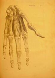 Historia Musculorum Hominis - Bernardi Siegfried [=Weiss] [Von] Albinus [=Weissenlöw]