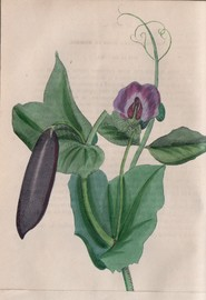 Journal d'Horticulture Pratique ou Guide des Amateurs et Jardiniers - M. Scheidweiler